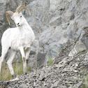 Daul Sheep