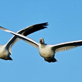 Snow Geese in Flight - Digital Oil by Steven Aicinena - Digital Art Animals (  )