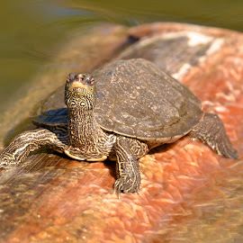Map Turtle by Steven Bach - Animals Reptiles ( graptemys geographica,  )