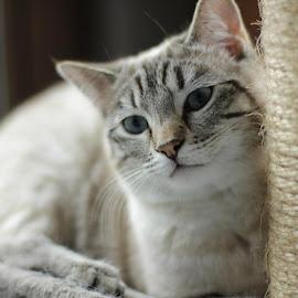 La jolie Skype <3 by Sophie Mirgaux - Animals - Cats Portraits