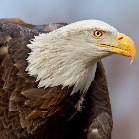 by Herb Houghton - Animals Birds ( wild, bird of prey, eagle, bald eagle, raptor, herbhoughton.com )