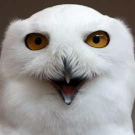 Smiling Snowy by Lloyd Alexander - Animals Birds ( bird, lloyd alexander, winter, avian, owl, snowy )