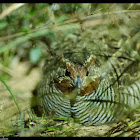 Jungle bush Quail