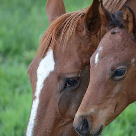 Mr. Handsome and His Mommy by Carmella Dunkin - Animals Horses ( horses laying in field, horses, horse, horse in field, white horse in field, white horse )