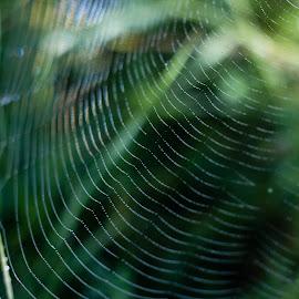 Drops by Goran Matejin - Nature Up Close Webs ( macro, grass, green, drops, spider, web, waterdrops, close up,  )