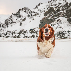 Charlie Brown by Annette Nordlinder - Animals - Dogs Playing ( face, hound, snow, funny, basset, running, rocks )