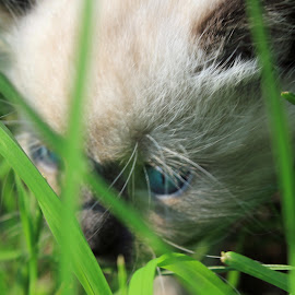 Lost in the grass by Tammy Jones Perdue - Animals - Cats Kittens ( kitten, persian, outside,  )