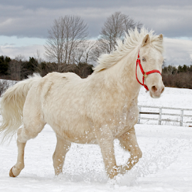 Winter's Run by Lloyd Alexander - Animals Horses ( gallop, lloyd alexander, winter, beautiful, snow, horse, blue eyes )