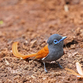 Mmmmm...this looks juicy! by Chris Krog - Animals Birds ( african, flycatcher, paradise, terpsiphone viridis )