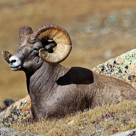 Bighorn Ram by Kirby Hornbeck - Animals Other Mammals ( animals, grass, sheep, bighorn, rocks )