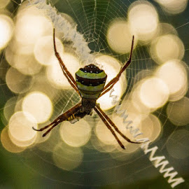 Signature Spider by Gaurav Madhopuri - Animals Insects & Spiders ( canon, gaurav, spider, 18-55mm, insect, bokeh )