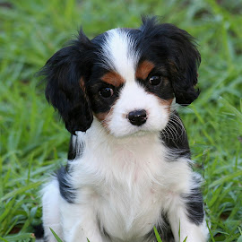Hamish - 9 Weeks Old by Jenny Brice - Animals - Dogs Puppies ( canine, cavalier, pet, puppy, baby, cavalier king charles spaniel, tricolour, cute, dog, young, animal )