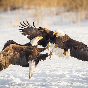 American Bald Eagle  021413-5032.jpg