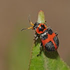 Red cross beetle (female)