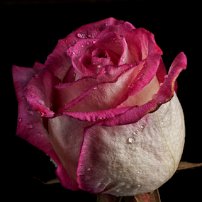 Rose with drops by Cristobal Garciaferro Rubio - Flowers Single Flower