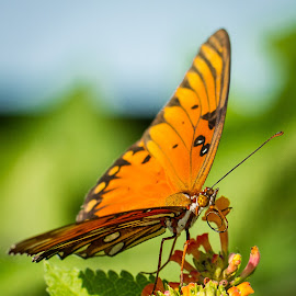 Butterfly by Nicole Nichols - Animals Insects & Spiders ( butterfly, flower )
