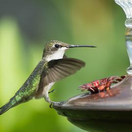 Steppin by Janet Lyle - Animals Birds ( hummingbird, wildlife, birds )
