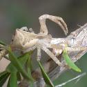 V shaped crab spider