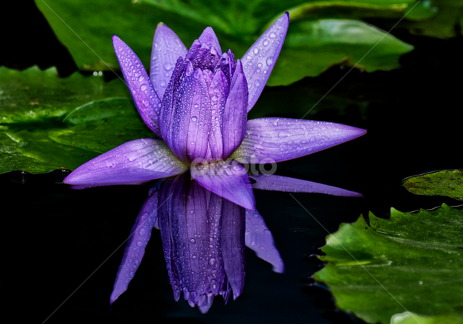 Reflection by Charliemagne Unggay - Nature Up Close Flowers - 2011-2013 ( natural flower, nature, lily, close up, flower )