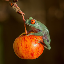 Red ye Tree frog by Kutub Macro-man - Animals Amphibians ( fruit, nature, red eye tree frog, close up, animal,  )