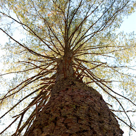 Following a tree to the sky by Tony Moore - Nature Up Close Trees & Bushes ( abstract, vertical, sky, canopy, nature, tree, bark, tall )