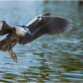 Brazilian Bird by Marcelo Cid Valerio - Animals Birds ( flying, wing, fly, birds,  )