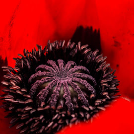 Poppy heart by Nicole Williams - Novices Only Macro ( poppy head flower red )