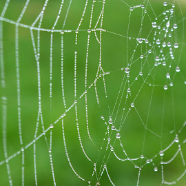 Dew on Web by Gareth Dickin - Nature Up Close Webs ( green, dew, web, droplets )