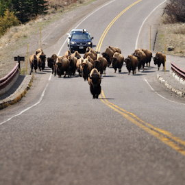 Traffic Jam by Jonathan Abrams - Transportation Roads ( buffalo, yellowstone, park, highway, bison, cars, wyoming, herd, bridge, road )