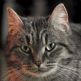 Pepper by Deanna Ramsay - Animals - Cats Portraits ( cat, pet, feline, tabby, animal )