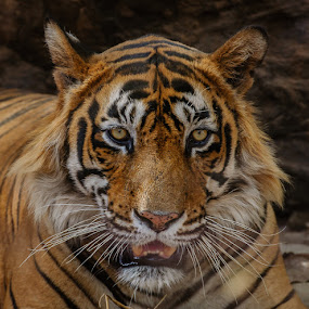 Royal Bengal Tiger by Avtar Singh - Animals Lions, Tigers & Big Cats ( tiger )