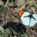 Pieridae, Colotis sp.