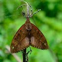 Castniid moth