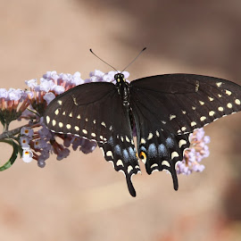 My Bush. by Gilbert Cadena - Animals Insects & Spiders ( butterfly, butterfly bush, serenity, blue eyes, black )