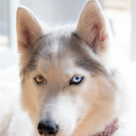 by Christine Jobin - Animals - Dogs Portraits ( siberian husky, husky )