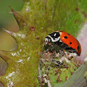 Convergent lady beetle (eating aphids)