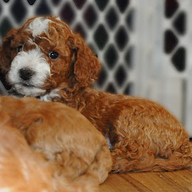 Cockapoo by Gary Aidekman - Animals - Dogs Puppies ( cockapoo, puppy, baby, young, animal )