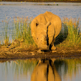 Reflections by Warren Hanna - Novices Only Wildlife ( #reflection, south africa, #rhino )