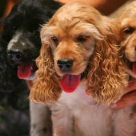 As they grow by Aditya Bajaj - Animals - Dogs Puppies ( puppies, dogs, cocker spaniel,  )