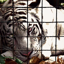 I've got my eyes on you by Stephen Avery  - Animals Lions, Tigers & Big Cats (  )