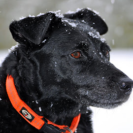 Snowing by Marco Bertamé - Animals - Dogs Portraits ( winter, red, collar, dog, close-up, portrait, black, profile,  )