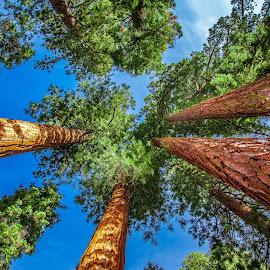 Mariposa Grove  by David Long - Nature Up Close Trees & Bushes ( yosemite, mariposa grove, yosemite national park )