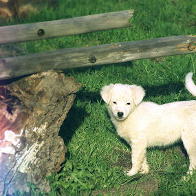 Purness by Kaja Radošević - Animals - Dogs Puppies ( happy, white puppie, meadow, cute, morning )