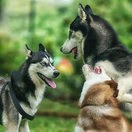 exomili #3 by Tt Sherman - Animals - Dogs Playing ( bogor, playing, dogs, siberian husky, sony a7 )