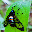 Gymnelia Wasp Moth