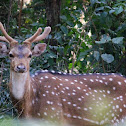 Cheetal or spotted deer