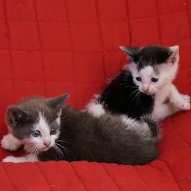 Double Trouble by Bridgette Rodriguez - Animals - Cats Kittens ( cats, kitten, cat, animals, kittens, animal )