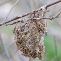 Vireo nest