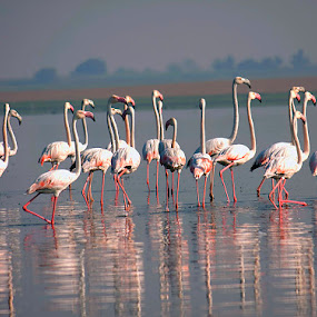 Flemingo by Nirav Raval - Animals Birds ( flemingo, new flemingo, rajkot, pink birds, pink, india, latest, birds )