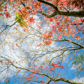 Spring awaits by Ryan Connell - Nature Up Close Trees & Bushes ( tree, spring, maple, colours )
